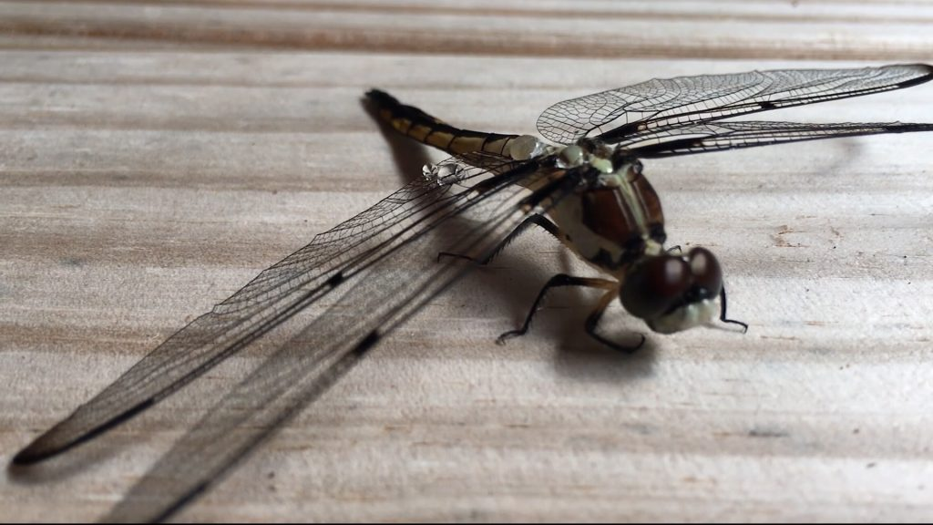 Travels With Charlie: Dragonflies in the Backyard