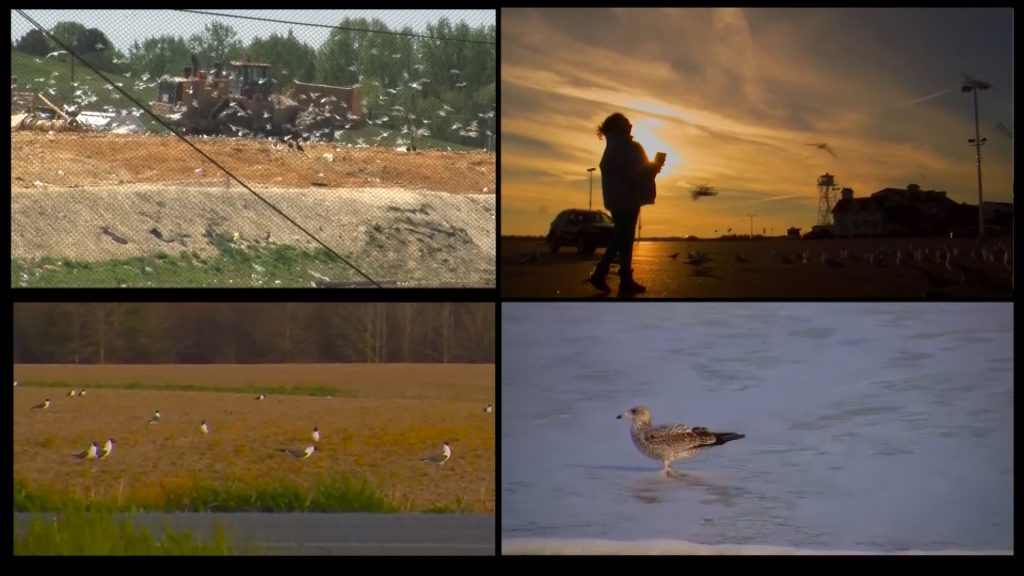 Travels With Charlie: Seagulls and the Newland Park Landfill