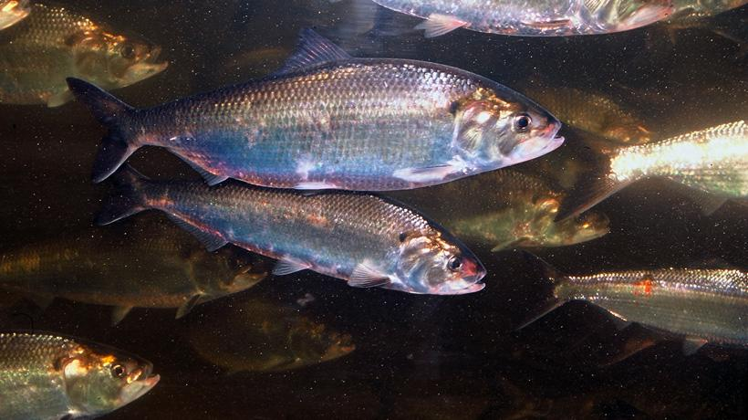 Regulators Find Shad, an Important Fish, Are 'Depleted'
