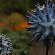 globe thistle detail