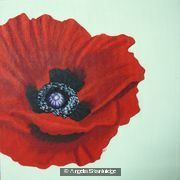 Red Poppy Light Background