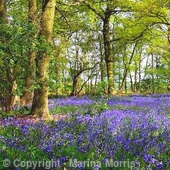 Bluebells at Queens Wood in Herefordshire