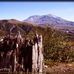 Mount St. Helens stump