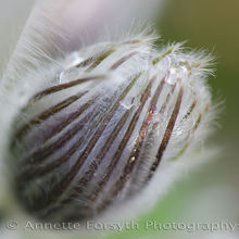 Delicate Pulsatilla Bud with Morning Dew