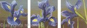 Irises Triptych
