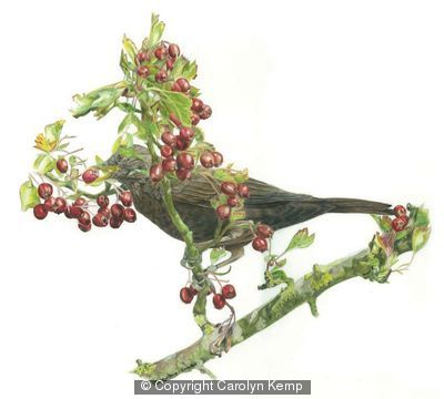 Blackbird - Berry anyone?