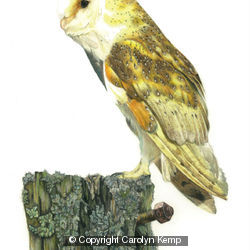 Barn Owl - An old rotting post