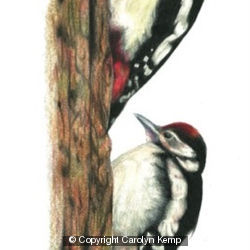 Great Spotted Woodpecker - learning the ropes