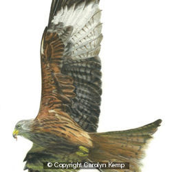 Red Kite - Enjoying the updraft