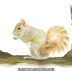 Grey Squirrel - enjoy the spoils