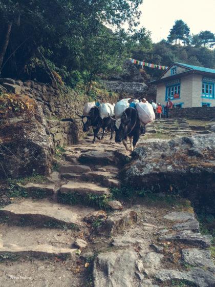Яки носят снаряжение в Непале