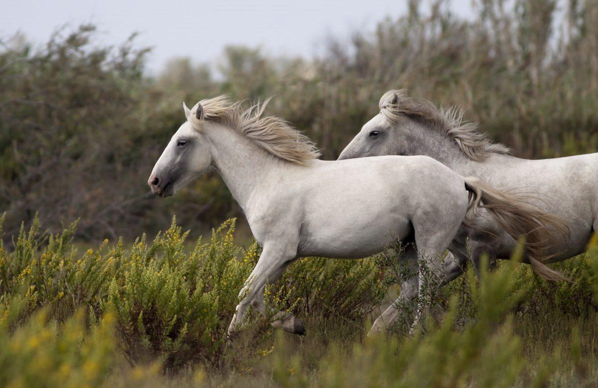 The Elusive Wild Horses of Missouri