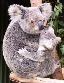 koala_mums