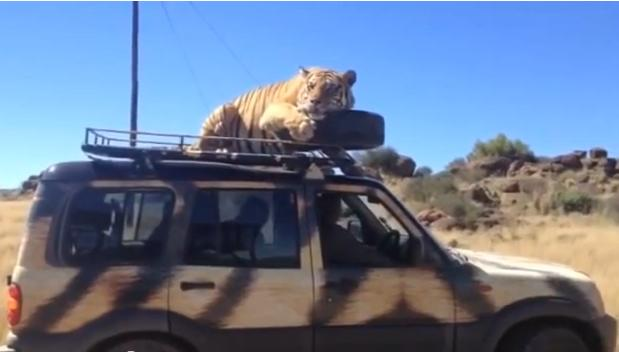 Bengal tiger comes along for ride on African safari