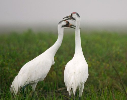 Whooping Cranes - courtesy Texas Parks and Wildlife Department