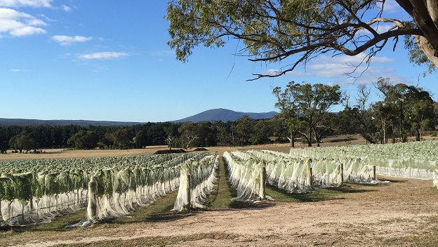 Bird protection for vines in the mornington peninsula