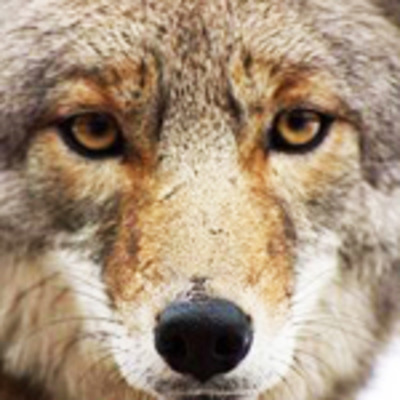 Grid_coyote_pic