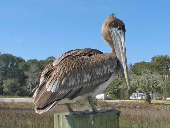 Brown pelican. Photo courtesy Wikimedia Commons.