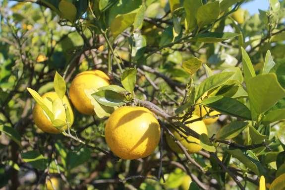Leu Gardensu0027 Historic Citrus Grove Succumbs To Greening