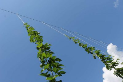 Hops growing at the University of Florida's research center in Apopka. Photo: Matthew Peddie, WMFE
