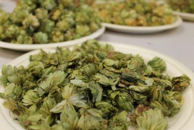 Recently harvested hops. Photo: Matthew Peddie, WMFE