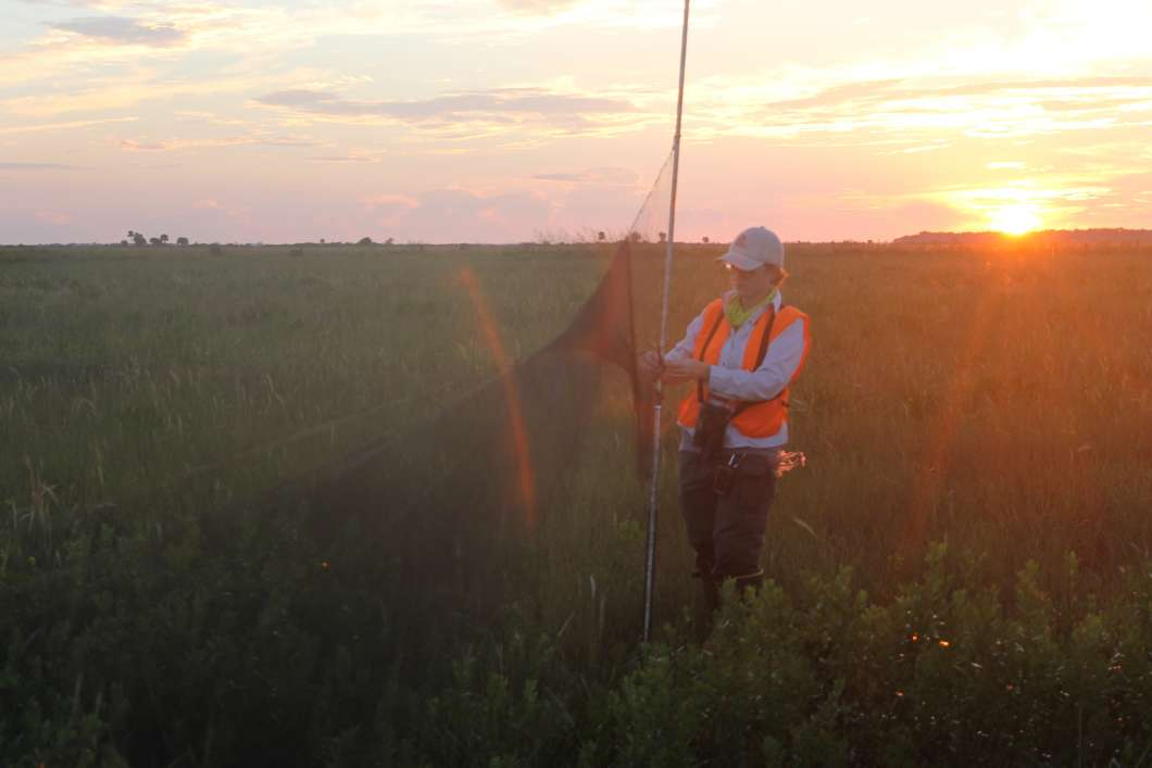 Erin Ragheb of the Florida Fish and Wildlife Conservation Commission aims to catch a Florida grasshopper sparrow as the sun rises over the central Florida prairie. Photo by Amy Green