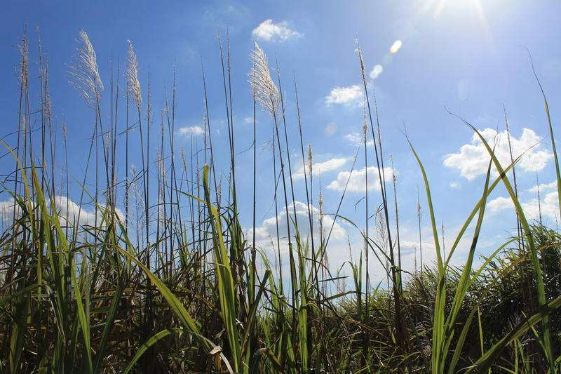 Sugar cane is the dominant crop of Florida's agricultural heartland south of Lake Okeechobee. Photo by Amy Green