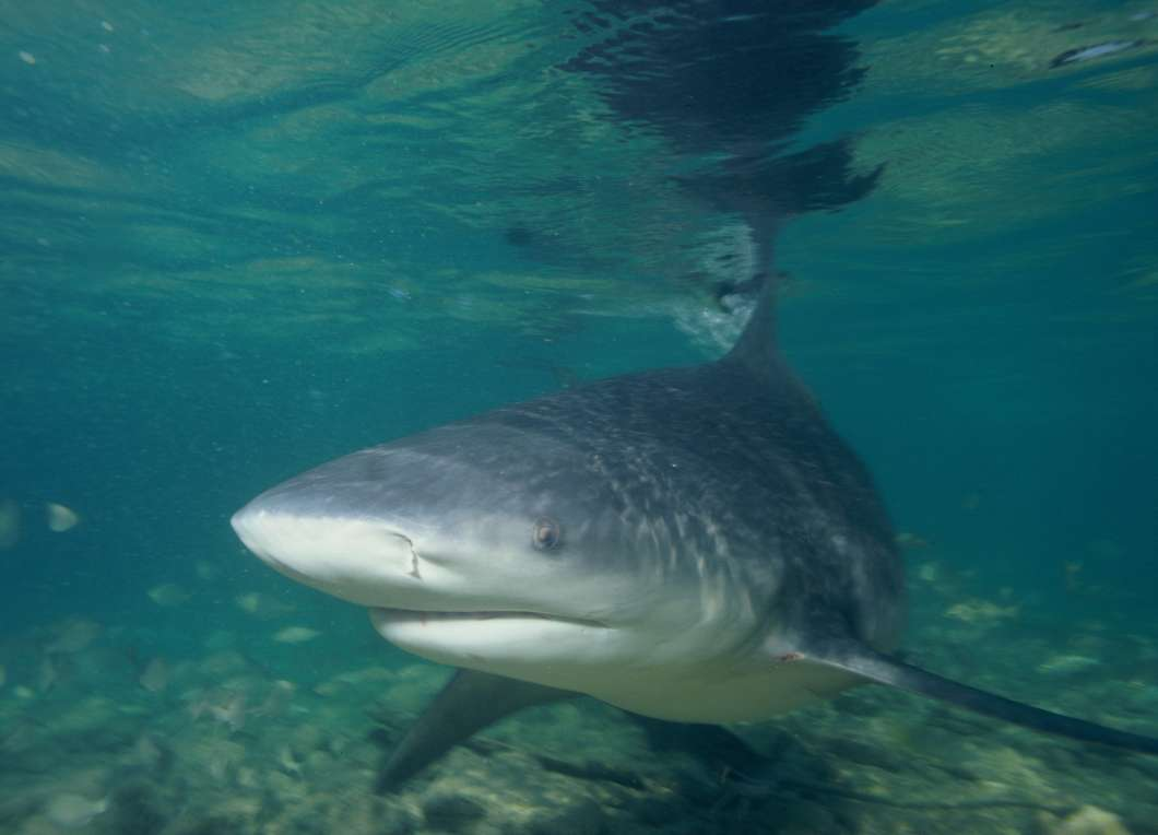 Bull sharks sometimes attack swimmers and surfers in Florida waters. Photo: Albert Kok, Walkers Cay, Bahamas