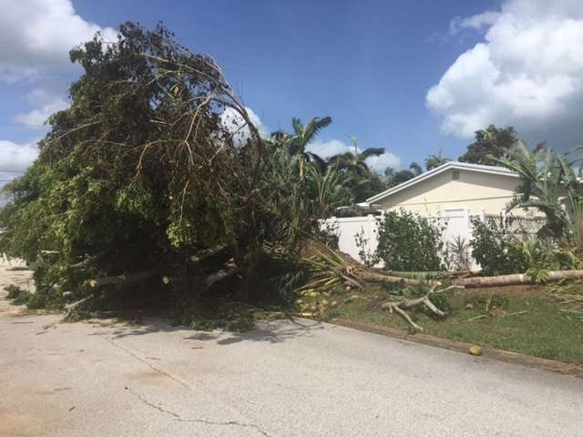 Tornadoes took this tree down in Indialantic. Photo: Catherine Welch