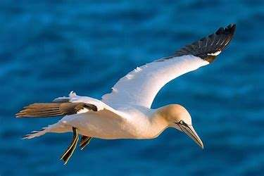 The northern gannet. Photo courtesy Wikimedia Commons