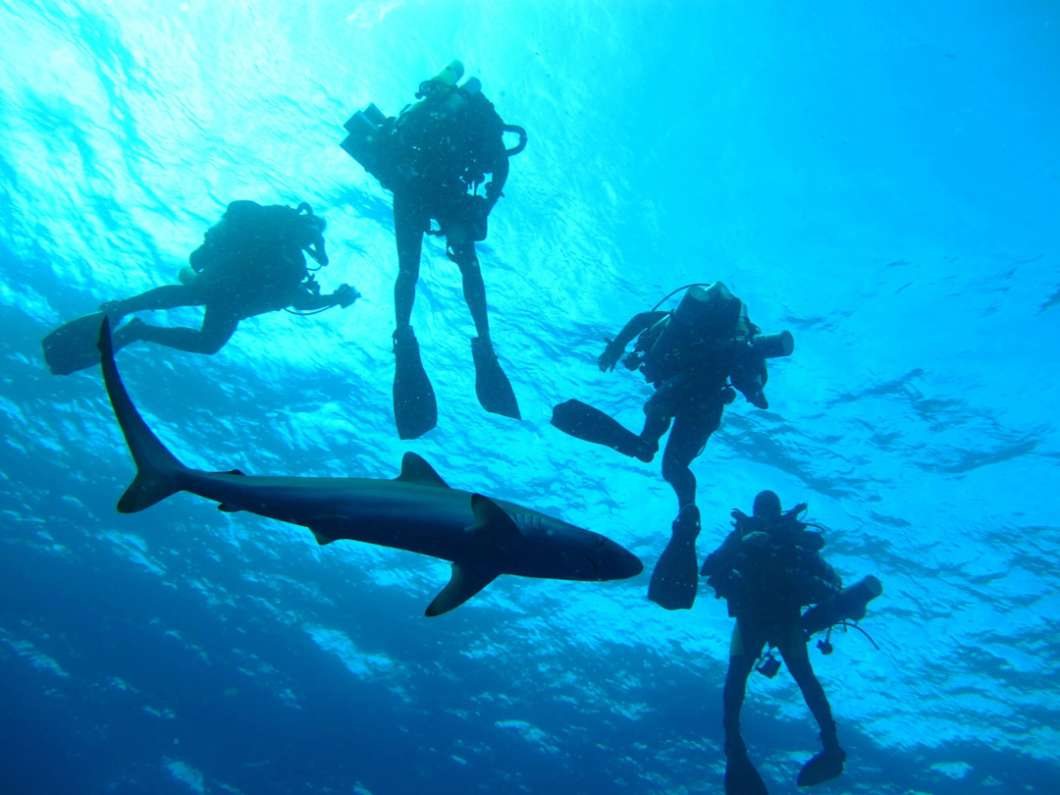 Divers with a silky shark off the coast of Florida. Photo: Robbie Christian, University of Miami.