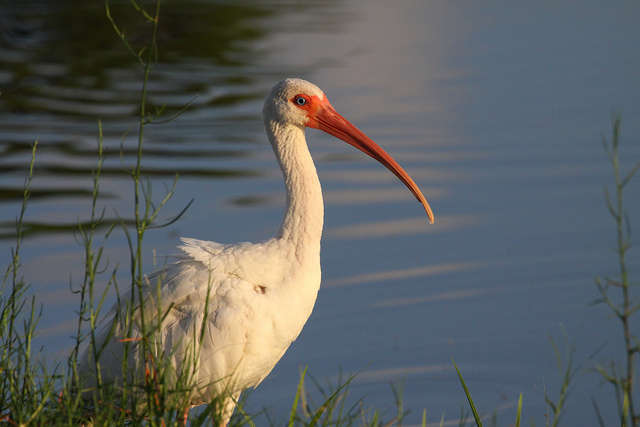 Birds are coming back to the Indian River and Mosquito Lagoons. Photo: Flickr Creative Commons