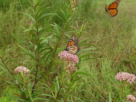 Image: Monarch Butterflies nectaring on Swamp Milkweed. Photo by Peg Urban