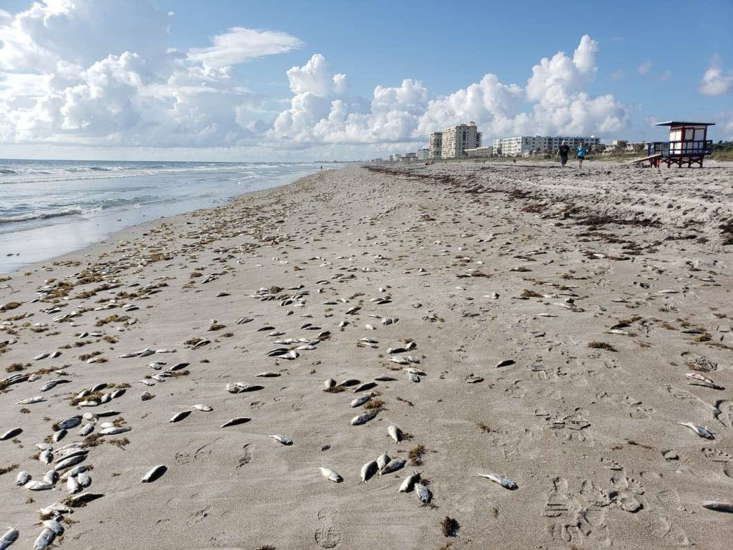Red Tide is believed to be behind this fish kill in Cocoa Beach. Photo courtesy Brevard County