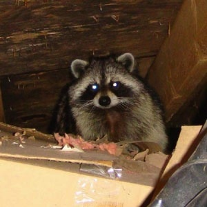 racoon in the attic