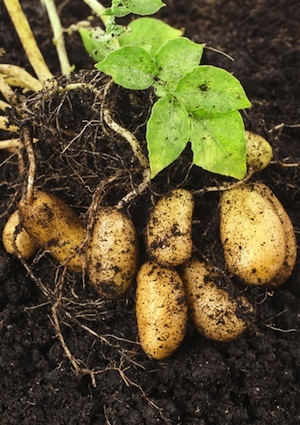 How to Grow Potatoes - Detail Plant