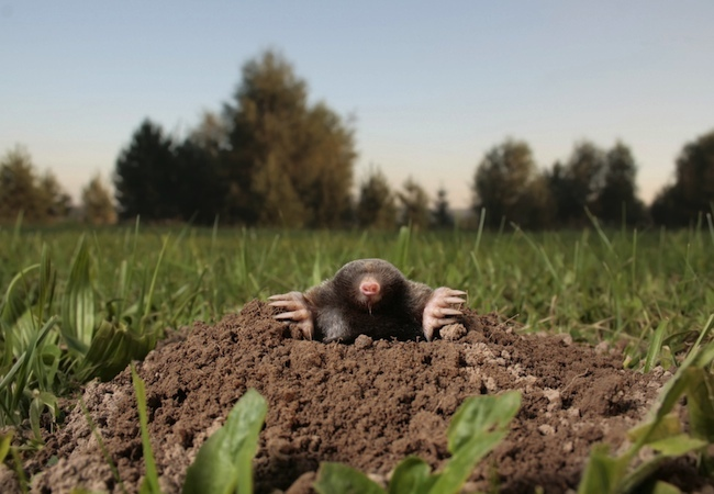 How to Get Rid of Moles - Culprit