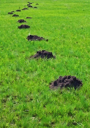 How to Get Rid of Moles - Mounds