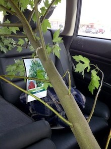LABworks360 Maple Tree In Car