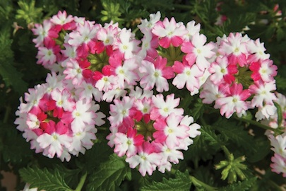 VLanai TwstrPnk verbena-flowering-annuals-rev