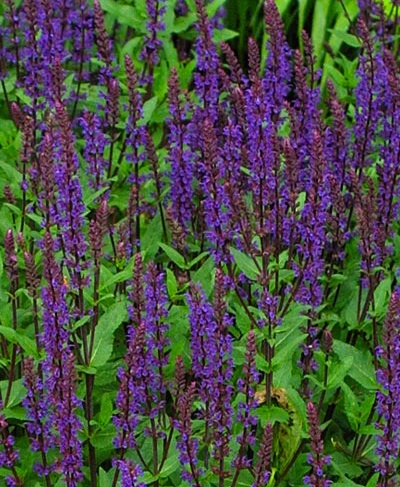 Ground Covers - Salvia