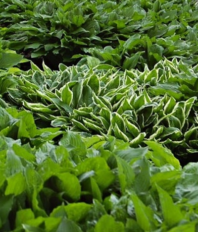 Ground Covers - Hosta