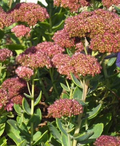 Ground Covers - Sedum