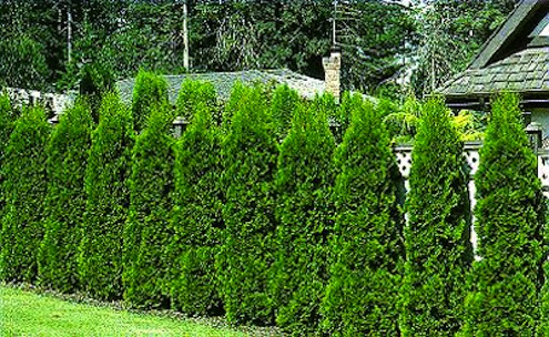 Aces.edu-Arborvitae-Hedgerow plant1