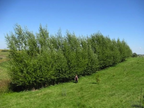 DavesGarden-hybrid-Willow-windbreak-hedgerow