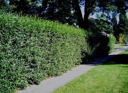 Villagewalkbonita-Privet-hedgerow