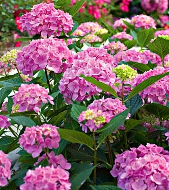 WhiteFlowerFarm-Hydrangea-macrophylia-Let's-Dance-Moonlight