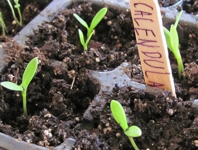 YourGardenShowoff-Indoor-seed-starter-local-Extension-Office