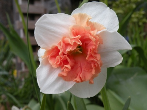 anartistsgarden-more-pink-daffodils