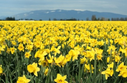 Funflowerfacts.com-yellow-daffodils-field